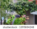 taiwan blue magpie  urocissa...   Shutterstock . vector #1395834248