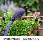 taiwan blue magpie  urocissa...   Shutterstock . vector #1395834272