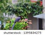 taiwan blue magpie  urocissa...   Shutterstock . vector #1395834275