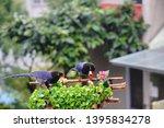 taiwan blue magpie  urocissa...   Shutterstock . vector #1395834278