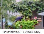 taiwan blue magpie  urocissa...   Shutterstock . vector #1395834302