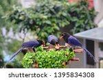taiwan blue magpie  urocissa...   Shutterstock . vector #1395834308