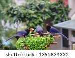 taiwan blue magpie  urocissa...   Shutterstock . vector #1395834332