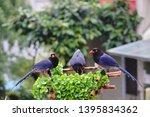 taiwan blue magpie  urocissa...   Shutterstock . vector #1395834362