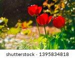 red tulips in the home garden | Shutterstock . vector #1395834818