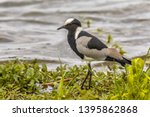 Blacksmith Lapwing  Vanellus...