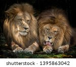 Two Lions Sitting Against Each...
