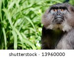 Black Ape - stock photo