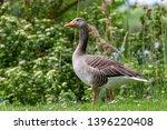 Wild Goose European Migratory...