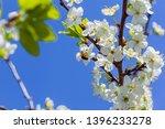 bee on apple blossom  closeup... | Shutterstock . vector #1396233278