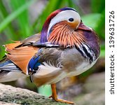 Beautiful Male Mandarin Duck ...