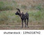 rare african wild dog  seen... | Shutterstock . vector #1396318742