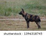 rare african wild dog  seen... | Shutterstock . vector #1396318745
