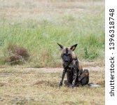rare african wild dog  seen... | Shutterstock . vector #1396318748
