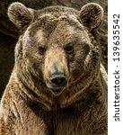 Brown Bear Close Up Shot