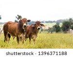 Cattle In Farm Of Brazil....