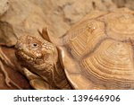 Sulcata Tortoise - stock photo