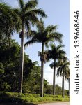 royal palm trees latin name... | Shutterstock . vector #139668646