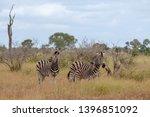 zebras photographed at kruger... | Shutterstock . vector #1396851092