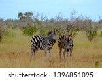 zebras photographed at kruger... | Shutterstock . vector #1396851095