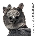 Harpy Eagle Portrait From A...