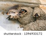 Swallow Birds Building Mud Nests