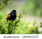 Red Winged Blackbird In The...