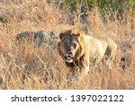 african lion wildlife south... | Shutterstock . vector #1397022122