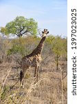 african giraffe wildlife south... | Shutterstock . vector #1397023025