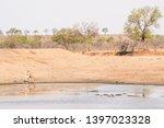 african giraffe drinking water... | Shutterstock . vector #1397023328