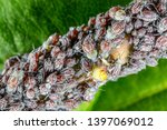 aphid on a plant in garden  ... | Shutterstock . vector #1397069012