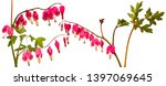 garden flower   lamprocapnos... | Shutterstock . vector #1397069645