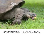 Stock photo indefatigable island giant tortoise chelonoidis porter feeding on fallen guava fruit on santa 1397105642