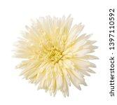 gerbera daisy flower  gerbera... | Shutterstock . vector #1397110592