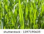 Common Reed Phragmites Leaf, Australis Cav. P. Communis Trin. ex Steud. Japonicus Leaves