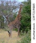 giraffe looking straight to... | Shutterstock . vector #1397219885
