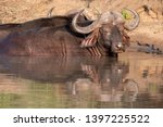 african buffalo basking in the... | Shutterstock . vector #1397225522