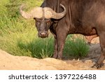 african buffalo looking angry   ... | Shutterstock . vector #1397226488