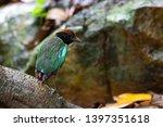 Hooded Pitta Bird  Pitta Sordi...