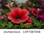 pink and violet petunia... | Shutterstock . vector #1397387048