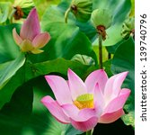 Colorful Pink Lotus In The Field