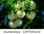 beautiful white balls of... | Shutterstock . vector #1397443142
