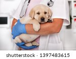 Stock photo cute labrador puppy dog sitting confortably in the arms of veterinary healthcare professional 1397483615