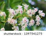 White Flowers Of Horse Chestnu...