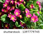 primula ordinary  primula... | Shutterstock . vector #1397779745