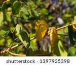 Autumn Foliage Of Bauhinia...