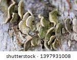 Beautiful Polypore Fungi On A...