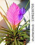 Small photo of Tillandsia Cyanea Anita - pink peduncle and purple flower. Tillandsia cyanea is native to Ecuador. It grows epiphyte on trees in rainforests