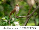 Small photo of Male Common nightingale (Luscinia megarhynchos) sits on a branch and sings. Singing bird sitting on blossoming twigs, a powerful voice, night spring singer, lives a hidden life, flowery tree with bird