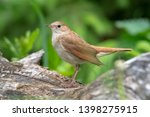 Common Nightingale  Luscinia...